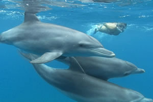 snorkling with dolphin