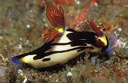 Nudibranch does not have a shell and the body is beautifully coloured with external gills