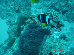 Clown Fish Maverick reef Ponta Malongane Mozambique