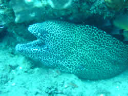 Moray Eel on Texas Reef Ponto Malongane Mozambique